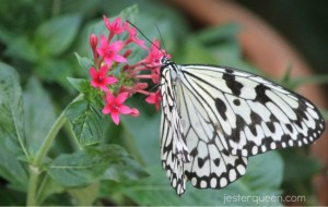 White on pink on green butterfly